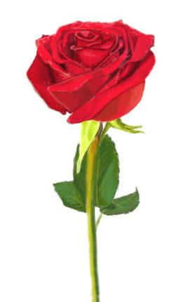 Роза нарисовать