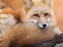 Рисуем лисицу