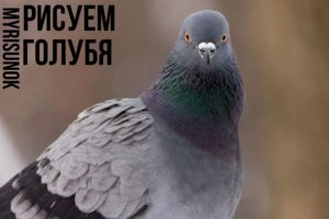 уроки рисования голубя