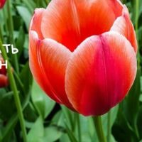 рисуем тюльпан просто
